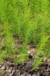 Přeslička rolní nať - 50 g